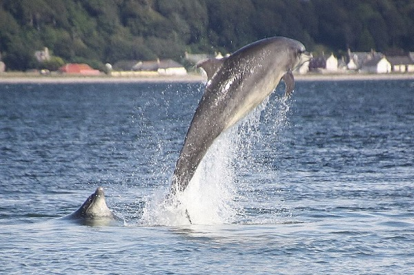 Dolphins jumping out of the water on the moray Firth