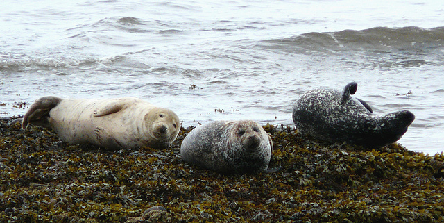 Seals at Spey Bay [credit Carron Brown on Flickr]
