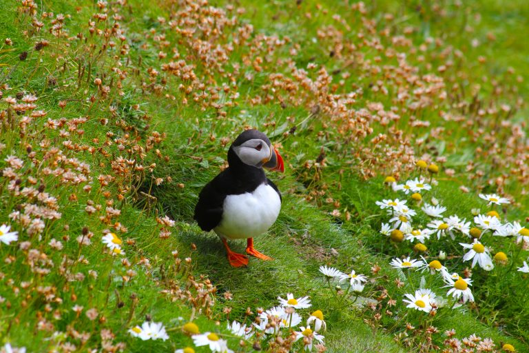 Puffin emerging from its burrow, Sumburgh, Shetland