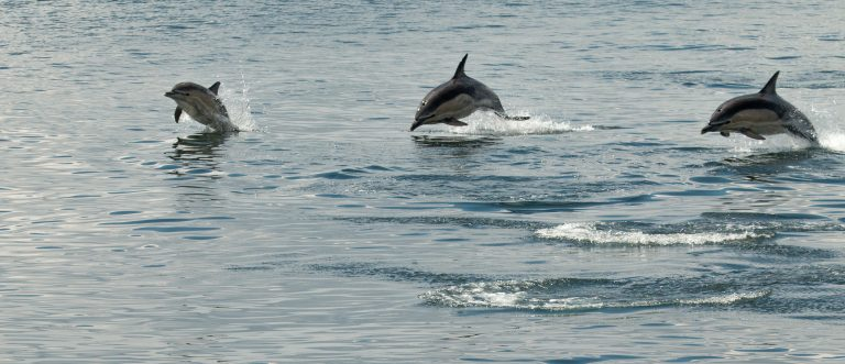 Common dolphins are best found off the west coast in the Summer months. Photo credit: James West