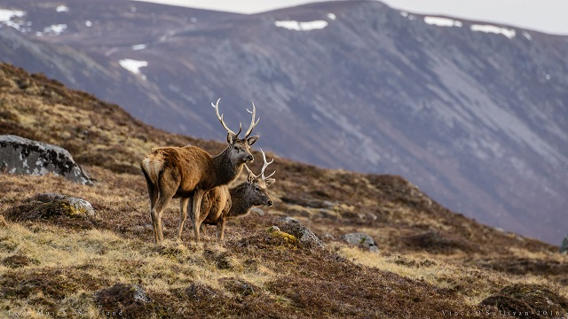 Red deer near Loch Muick. There are some excellent walks in the area and plenty of opportunities to spot Scottish wildlife. Photo credit: Vince O'Sullivan