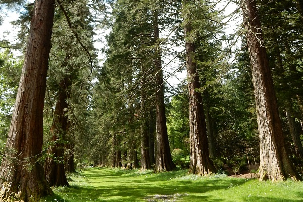 Redwoods at Benmore Botanic Gardens [Credit: Beth on Flickr]