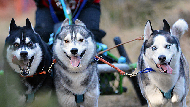 The Siberian HuskyClub of Great Britain Aviemore Sled Dog Rally offers great thrills, whatever the weather. Photo credit:Stuart Gordon