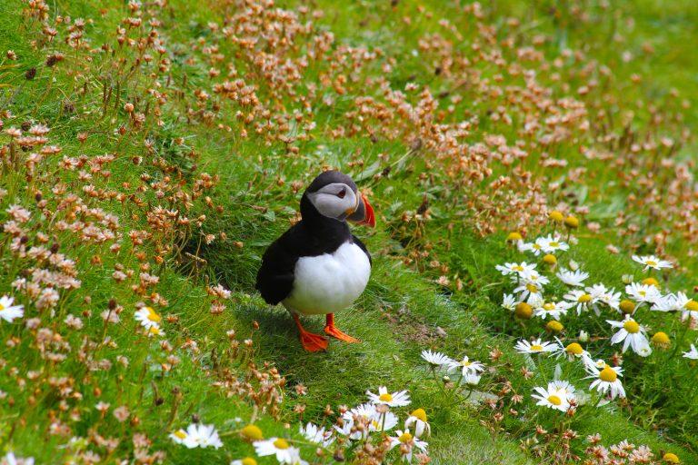 Puffin emerging from its burrow, Sumburgh, Shetland