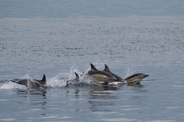 Common Dolphins are very social creatures. If you are fortunate enough to come across a large group it can be a truly mesmerising spectacle! Photo credit: James West